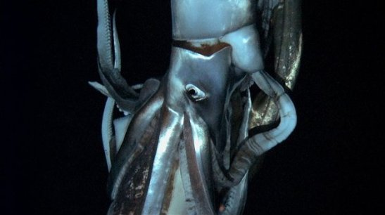 Giant squid photo credit Edie Widder/The Discovery Channel