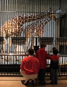 Giraffes at the Saint Louis Zoo