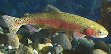 The beautiful, and resurgent, Lahotan Cutthroat Trout