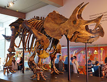 Triceratops skeleton at the natural History Museum of Los Angeles County
